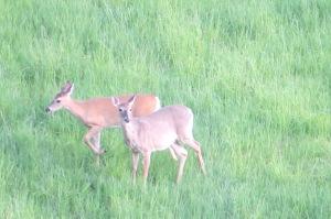 Bland - deer may 2013