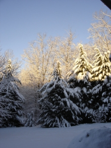snow-covered-cypress